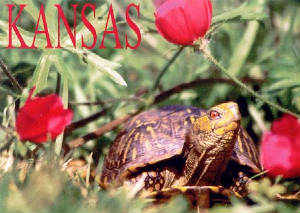 An adult male Ornate Box Turtle photographed near Wakarusa in Shawnee County, Kansas