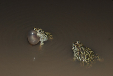 CALLS OF KANSAS FROGS AND TOADS