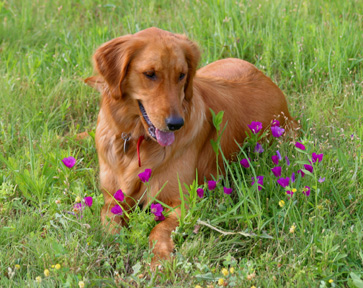 Halley (female Golden Retriever)