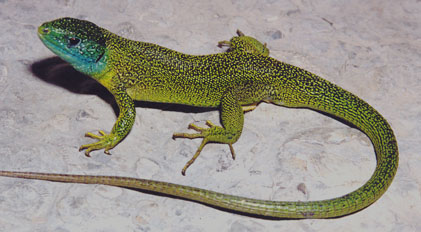 Click on this photo of an adult Western Green Lizard to go to a newspaper article about the animal.