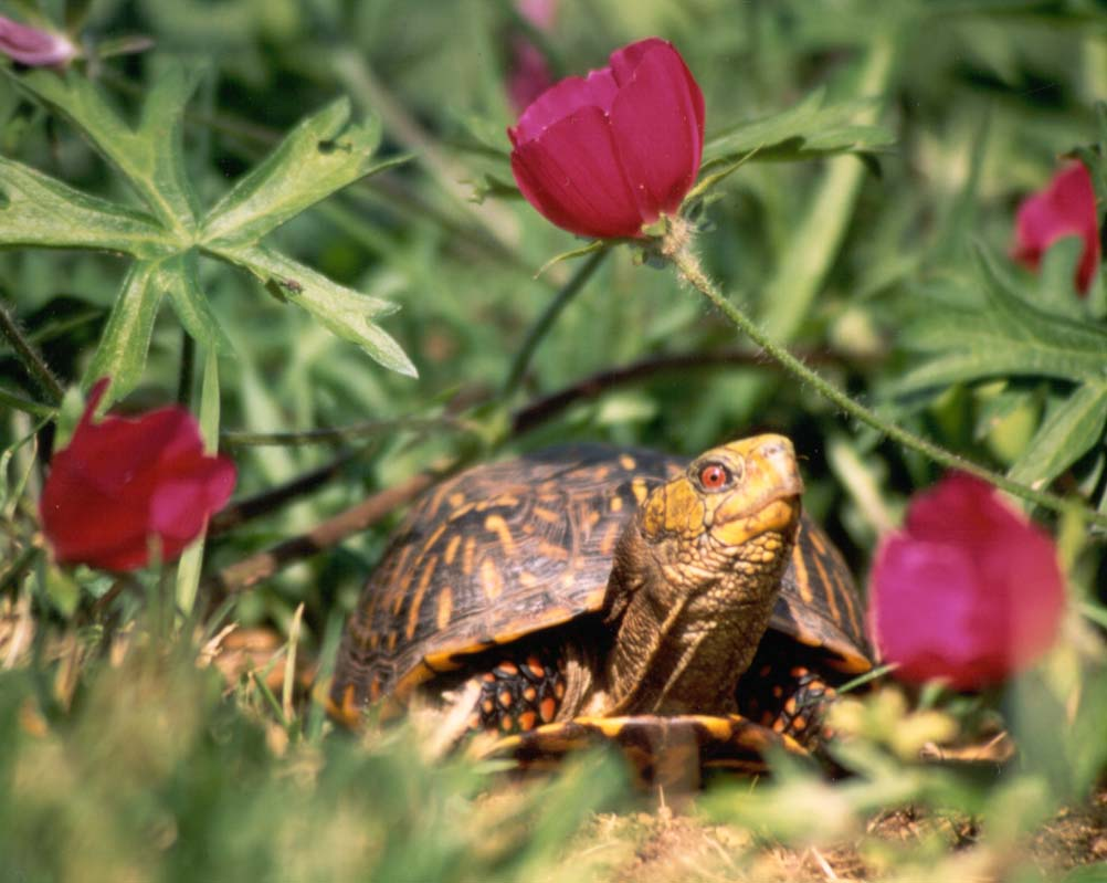 Click on photo to go to special Box Turtle site